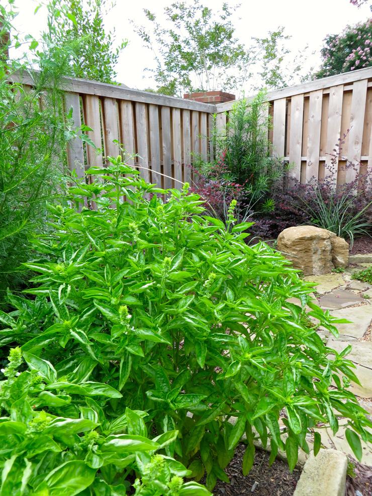 Flowering basil plant in garden bed