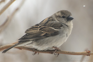 Female House Sparrow. photo  © Shelley Banks, all rights reserved.