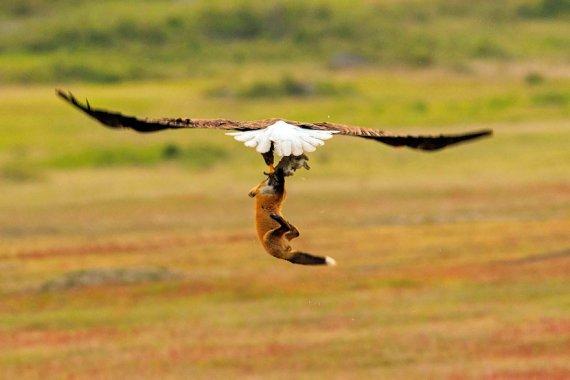 Унікальний кадр: орел вкрав здобич з-під носа у лисиці