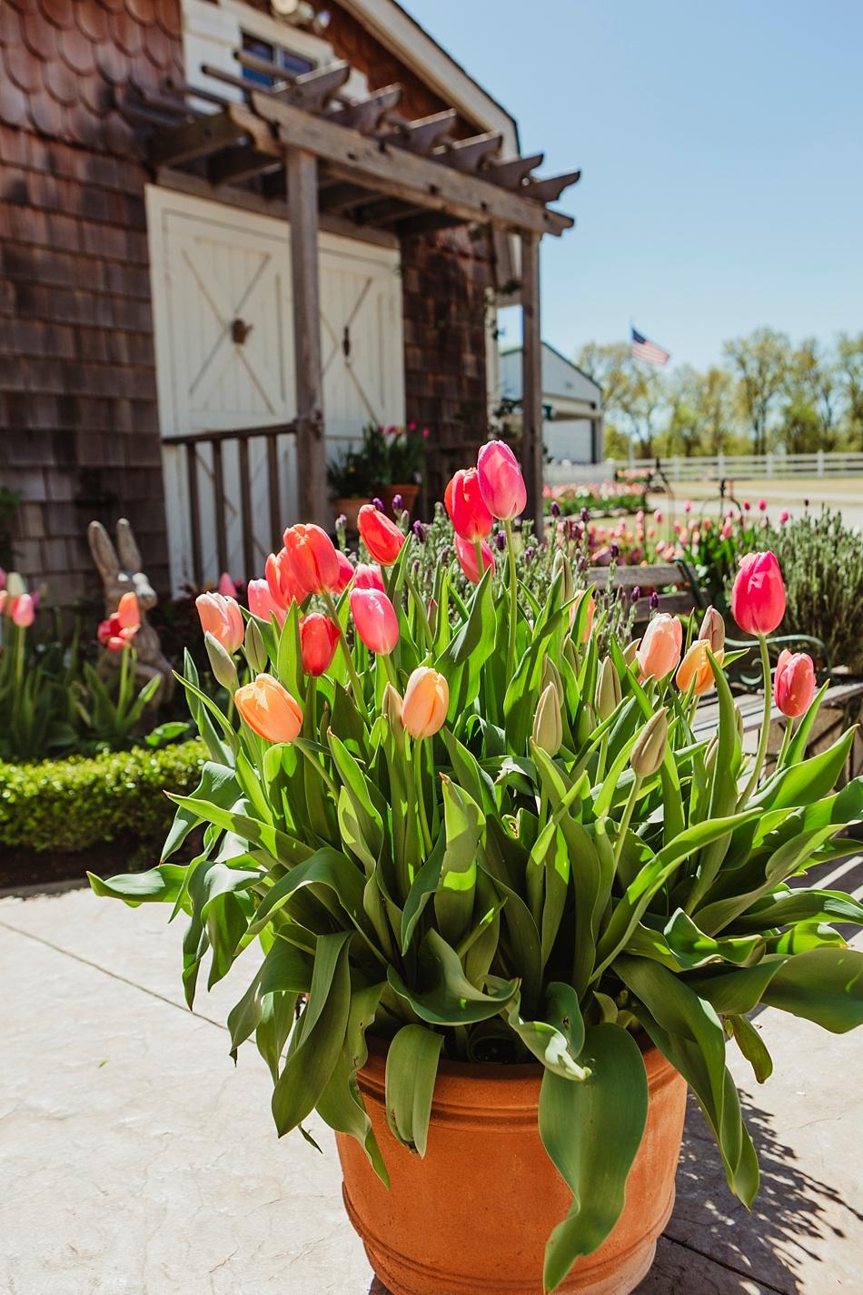Colorblend tulips spring at Oak Grove Garden Coweta OK Teresa Dawkins
