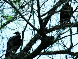 A Árvore dos Urubus - Caminho de Santiago, Santo Antônio da Patrulha