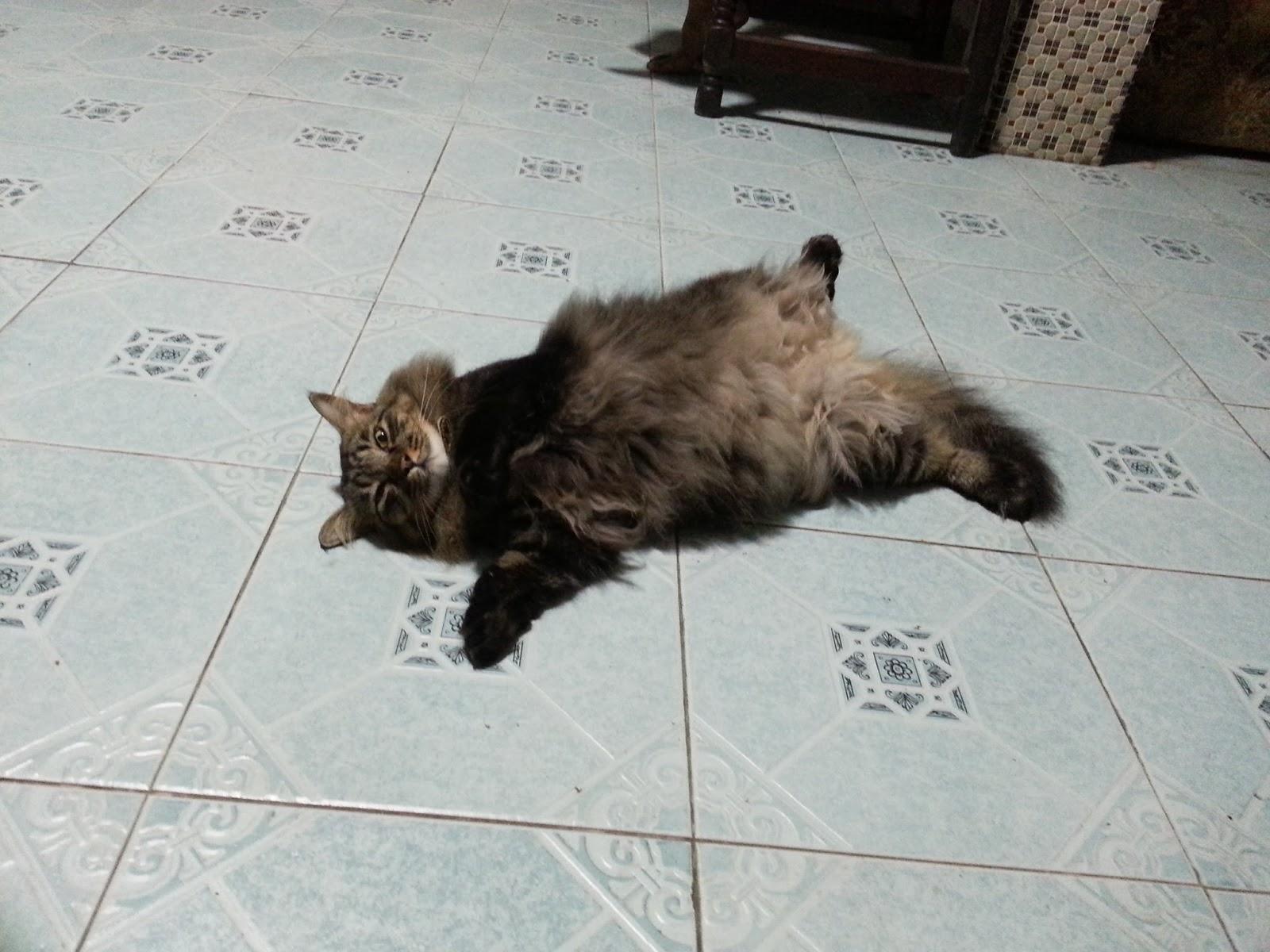 Ketahui Cara Mengukur dan Berat Badan Ideal Kucingmu di Sini!
