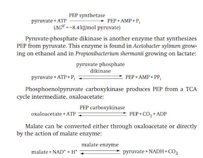 enzim glukoneogenesis