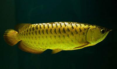 ikan hias arwana platinum