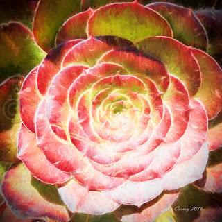 """Succulent """"Aeonium"""" #4"""