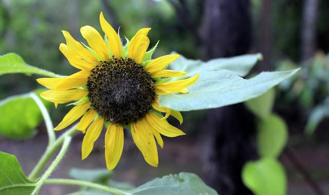 Foto Bunga Matahari di Depan Rumah Yang Indah
