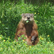 GROUND HOGS KEEP THEM FROM DIGGING ON YOUR PROPERTY