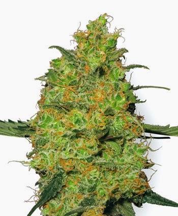 vendita-online-semi-marijuana-master-kush-femminilizzati