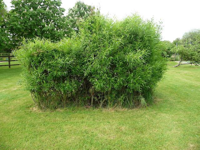 living willow sculptures Igloo in summer