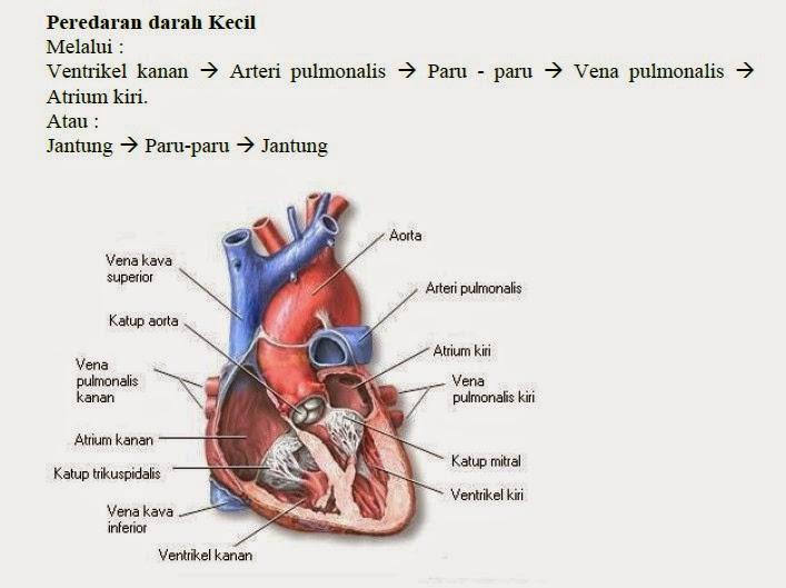 Peredaran darah pendek/kecil/pulmonal