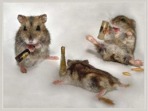 Những chú chuột say xỉn