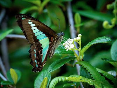 Aosuji-ageha (blue-triangle)butterfly: Kencho-ji