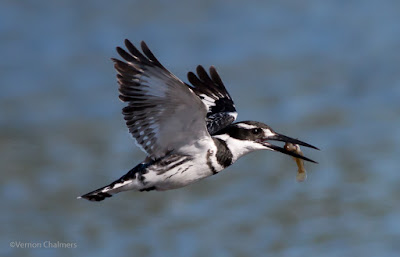 Birds in Flight Photography: Background Blur Considerations