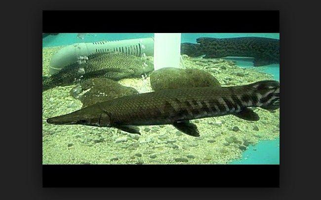 jenis ikan aligator terbesar