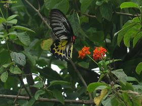 Southern Birdwing Butterfly (State Butterfly of Karnataka)