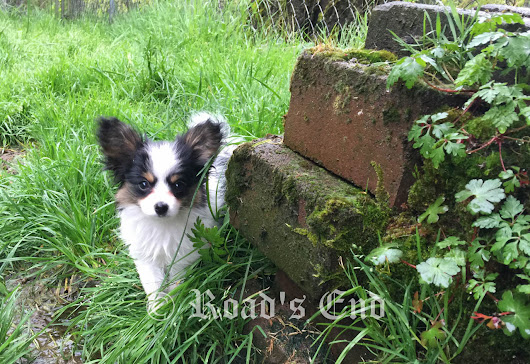 11 Week Old Papillon Puppy