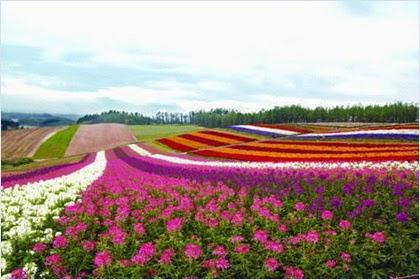 ทุ่งดอกไม้ฟุราโนะ (Furano Flower Fields)
