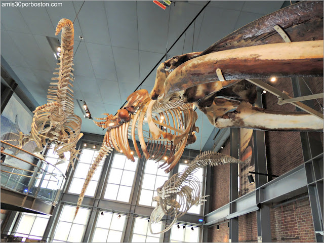 Skeletons of the Deep en el Museo de las Ballenas de New Bedford