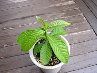 成長中のバナバ