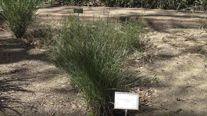 Miscanthus Sinensis Var. Gracillimus
