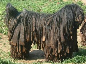 Everything about your Bergamasco Shepherd