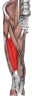 rectus femoris muscle, action, muscle picture