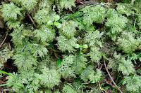 Step Moss