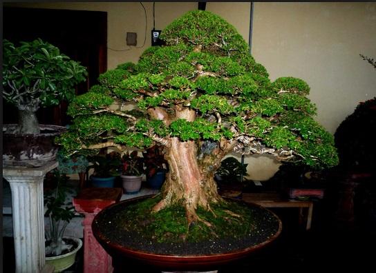 Pohon Bonsai Terbaik Untuk Dimiliki Centralbonsai Com Berbagi