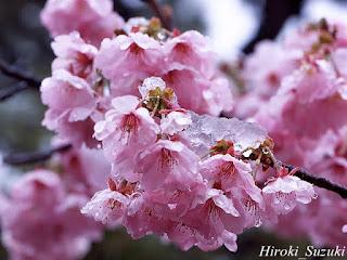 Gambar Bunga Sakura Paling cantik di Jepang 15000