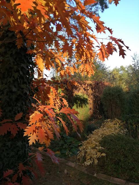 dąb czerwony jesienią