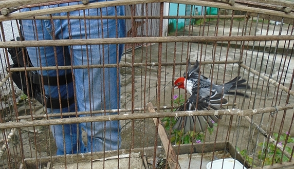 Cinco pessoas são detidas com pássaros em gaiolas durante ação do IBAMA em Santa Cruz