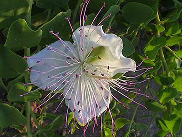 Alcaparrera (Capparis spinosa)flor silvestre blanca