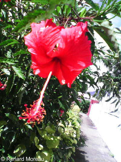 A Hibiscus Flower Photographed By Renard Moreau