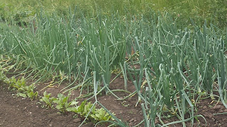 Harvesting & Storing Onions by Martha Smith