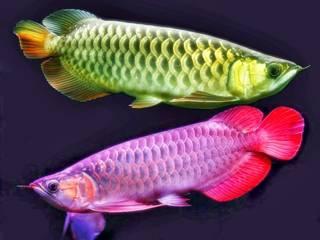 Jenis ikan hoki pembawa keberuntungan - arwana