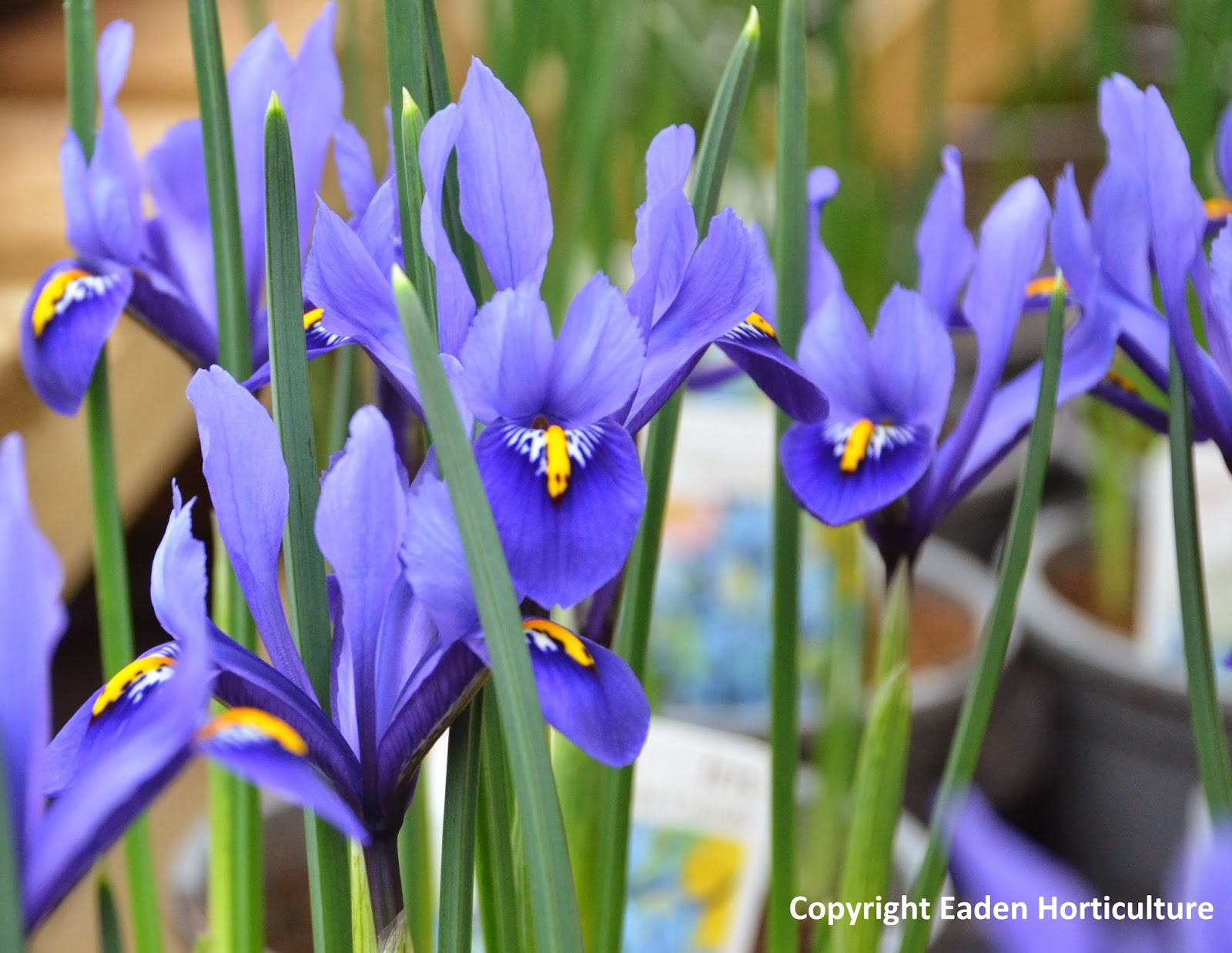 How To Grow Iris Reticulata The Garden Of Eaden