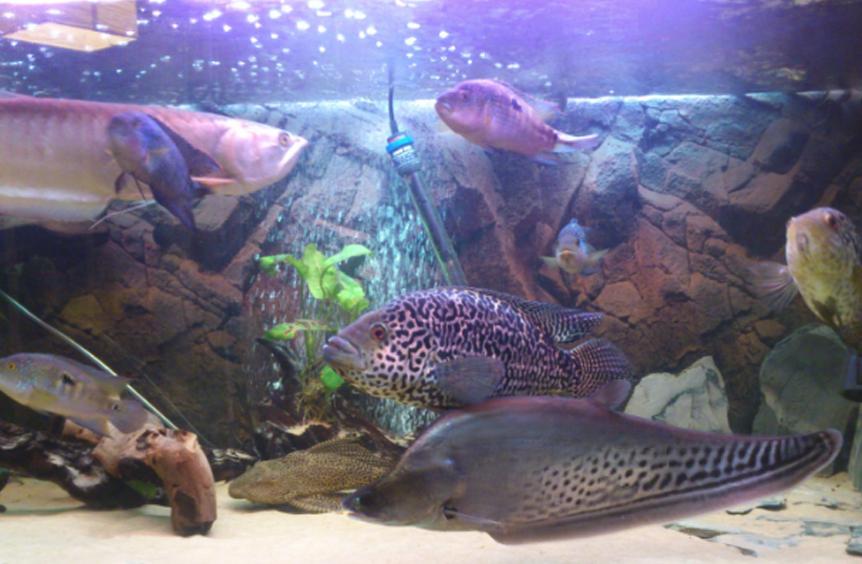 types of knife fish, knife fish, knife fish types