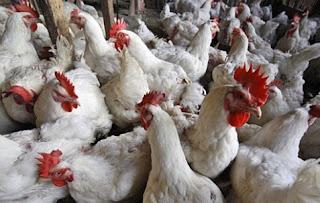 Jenis-jenis ayam peliharaan