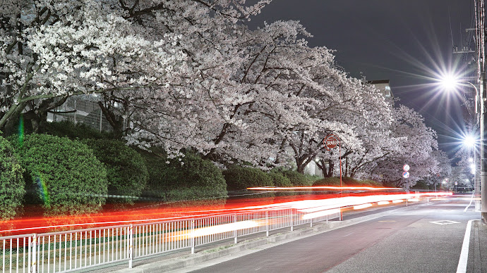 Wallpaper: City. Urban Nature. Cherry Blossoms