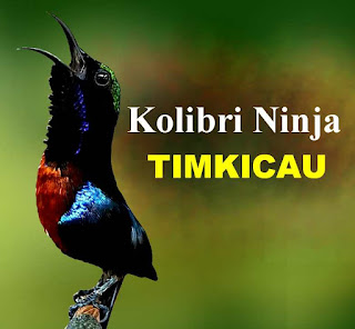 Kolibri ninja atau yang sering disebut KONIN ini merupakan spesies burung pengicau dari keluarga Nectariniidae