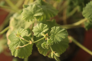 hojas de pelargonium odoratissimum