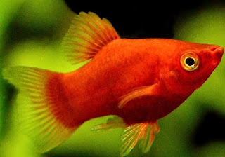 Gambar Ikan Platy