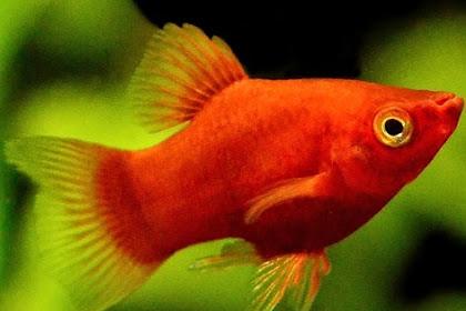 Ciri Ciri Ikan Platy Hamil dan Cara Merawatnya