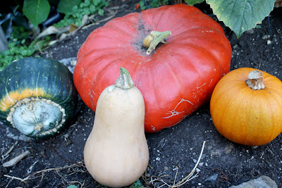 a red orange cinderella pumpkin, sugar pie pumpkin, buttercup squash, and buttnernut squash harvested in a grouping on the garden ground