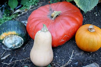 a red orange cinderella pumpkin, sugar pie pumpkin, buttercup squash, and buttnernut squash harvested in a grouping on the garden ground