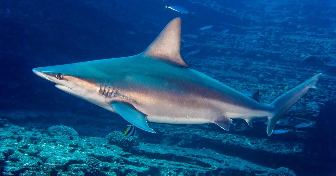 Tiburones en Galicia: Jaquetón de Milberto (Carcharhinus plumbeus)