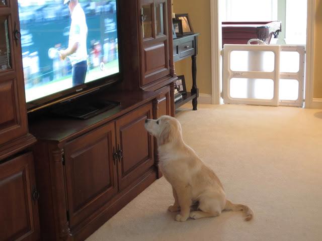 Golden retriever puppy watching golf
