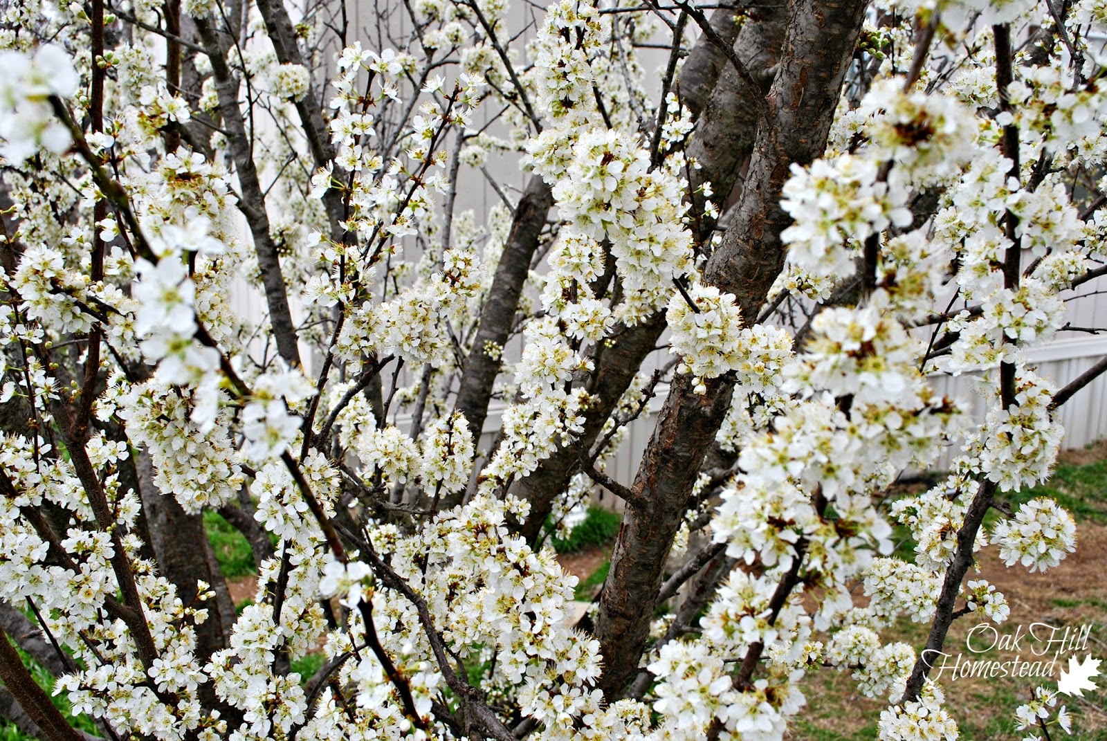 The orchard in spring, a story of anticipation and hope
