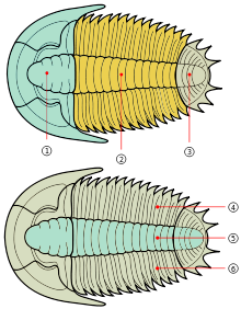 The Trilobite body is divided into three major sections (tagmata): 1 – cephalon; 2 – thorax; 3 – pygidium. Trilobites are so named for the three longitudinal lobes: 4 – right pleural lobe; 5 – axial lobe; 6 – left pleural lobe; the antennae and legs are not shown in these diagrams.