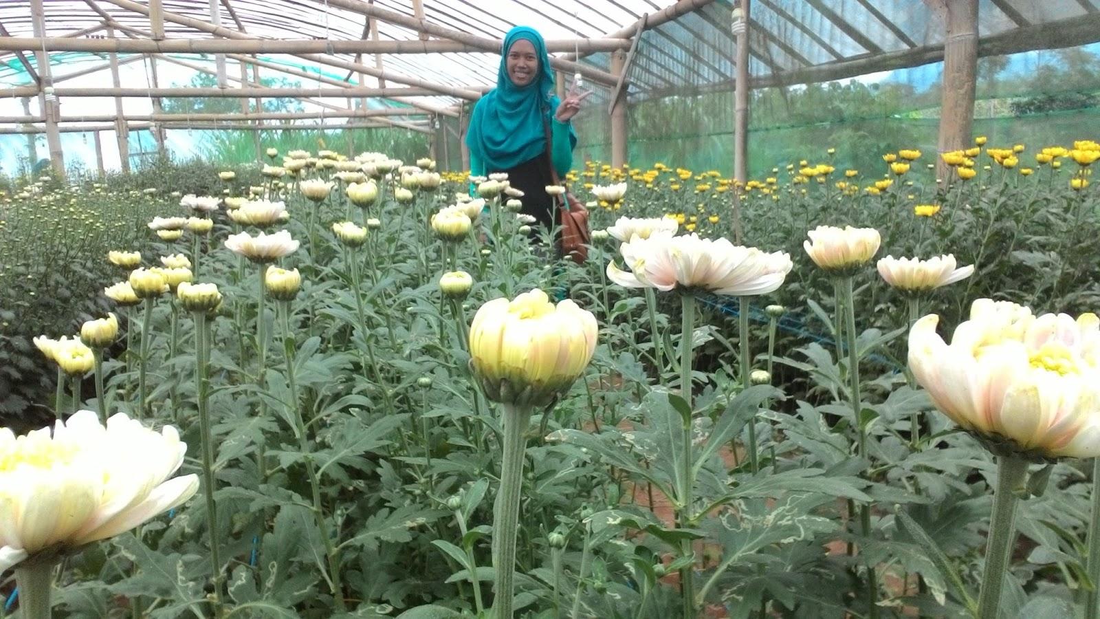 Kebun Bunga Krisan Tulungagung